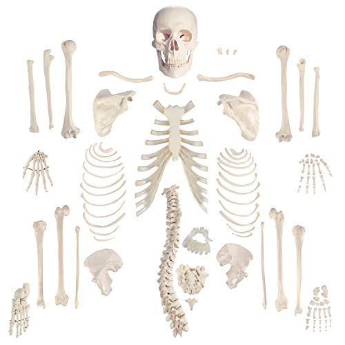 """Houseables Disarticulated Human Skeleton, Full Unassembled Anatomical Model, Life Sized, 62""""..."""